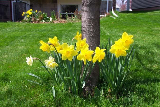 daffodil07.jpg